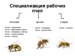 специализация пчёл