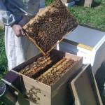 пчёлы купить в Санкт-Петербурге