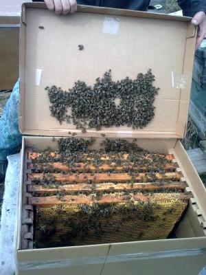 пчёл продаём в Санкт-Петербурге