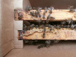нестандартные рамки легко вмещаются в наш пчеловодный пакет