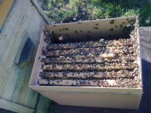 пчелосемьи в С-Пб