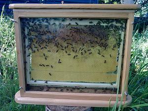 пчелы для дачи, наблюдения и апитерапии