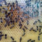 пчёлы в наблюдательном улье