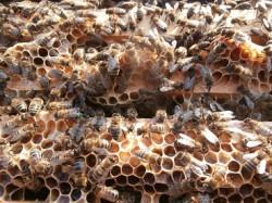 добрые пчёлы!