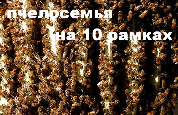 сильная пчелосемья