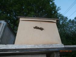 пчёлы охраняют леток в ловушке