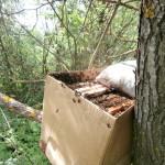 ловля пчелиных роёв