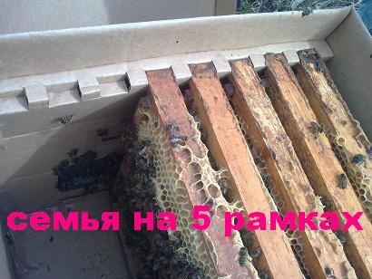 небольшая семья пчёл